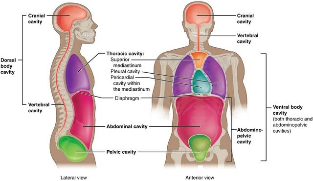 das ist eine abbildung der dorsalen und ventralen körperhöhlen