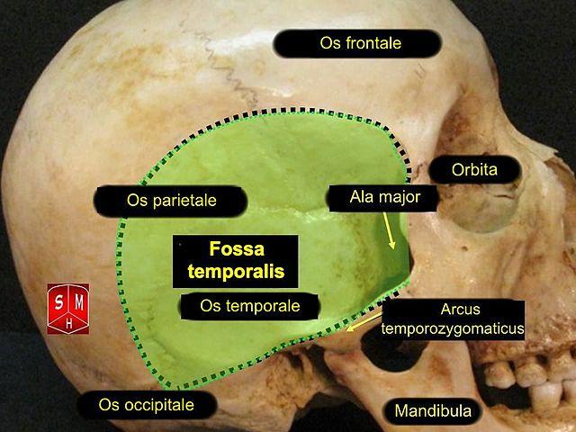 diese abbildung zeigt die fossa temporalis