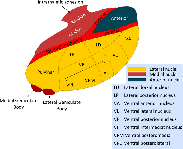diese abbildung zeigt die kerngebiete des thalamus