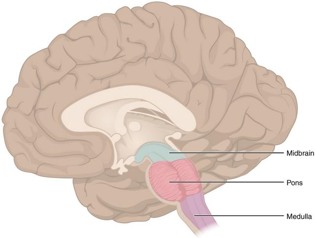 diese abbildung zeigt die position des mittelhirns, der pons und der medulla im hirnstamm
