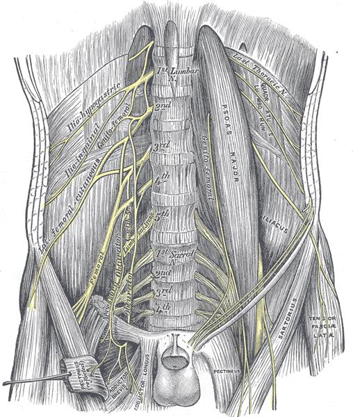 beschriftete Zeichnung des Lumbar plexus und seiner Verzweigungen