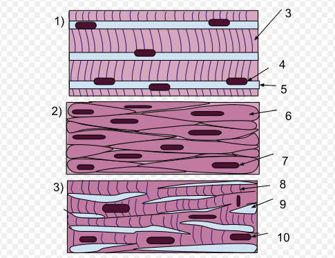 Glattes Muskelgewebe, Herzmuskelgewebe, Skelettmuskelgewebe