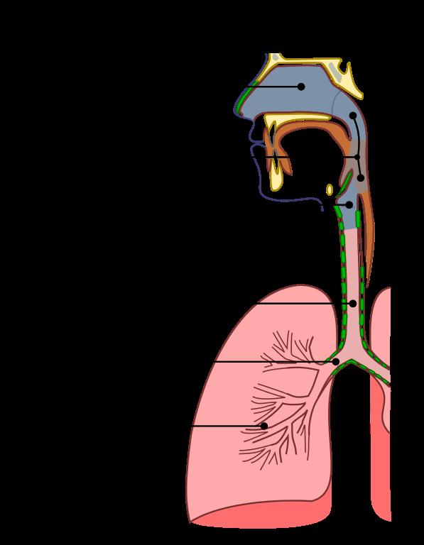 Atemwege: Histologie von Trachea und Lunge