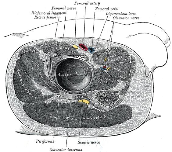 beschriftete Zeichnung der umgebenden Strukturen des rechten Hüftgelenks