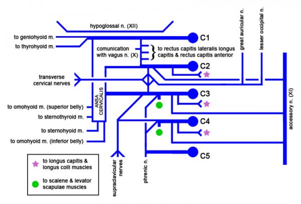 schematische abbildung Cervical plexus