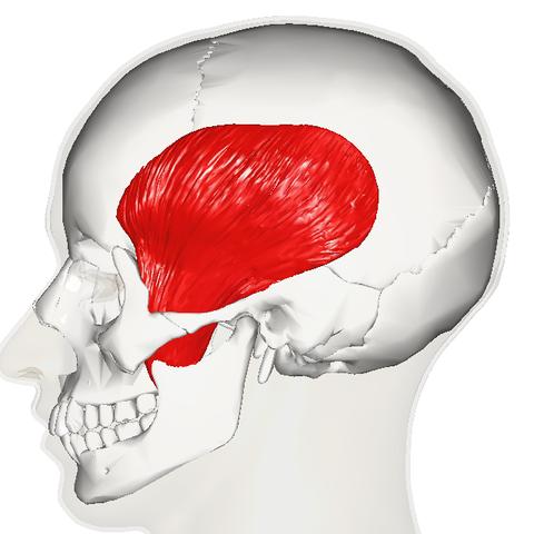 Kaumuskulatur, Zungenmuskulatur und Kiefergelenk | Lecturio