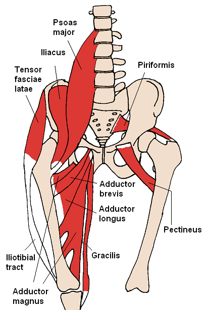 Musculus psoas major Weitere Einzelheiten Musculus psoas major