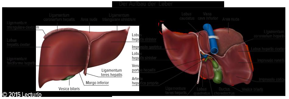Aufbau der Leber - Vorder- und Rückseite