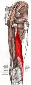 Muscles of the gluteal and posterior femoral regions with current muscle highlighted