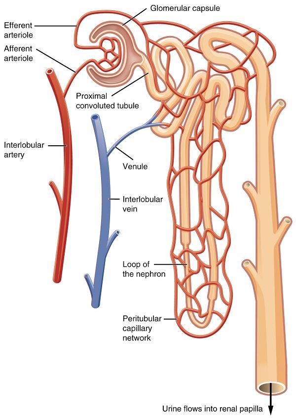 Blutfluss im Nephron