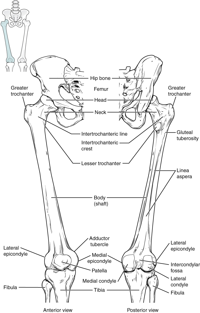 labeled diagram of Femur and Patella