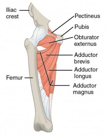 Hüftmuskulatur: Abduktoren, Innen- & Außenrotatoren, Flexoren ...