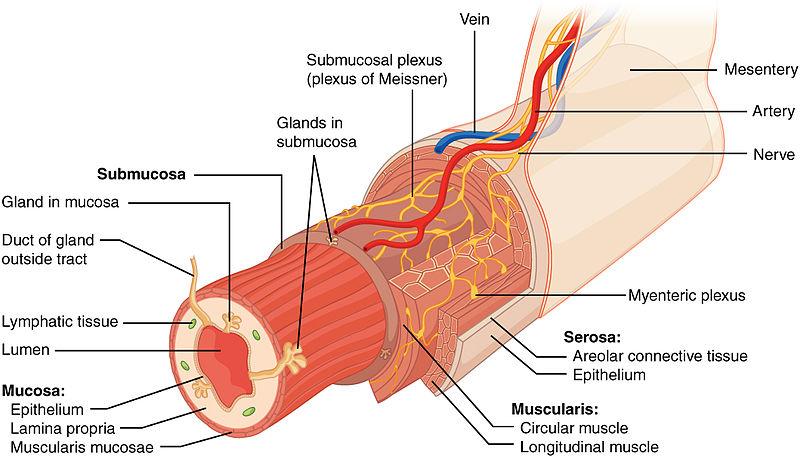 Gastrointestinaltrakt