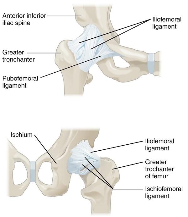 Hüftgelenk - Anatomie der unteren Extremität
