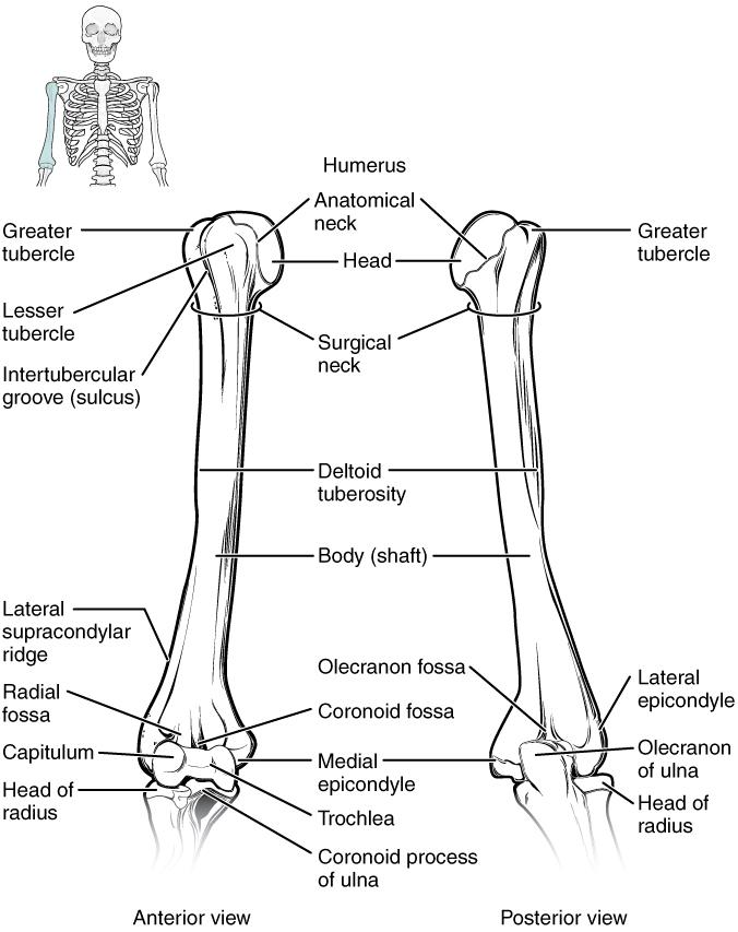 Schultergelenk und subakromialer Gleitraum