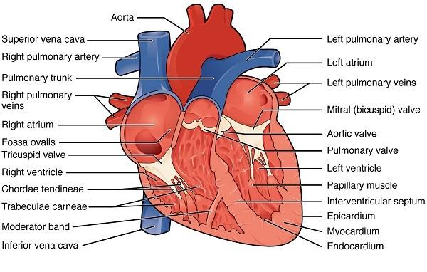 Innere Anatomie des Herzens