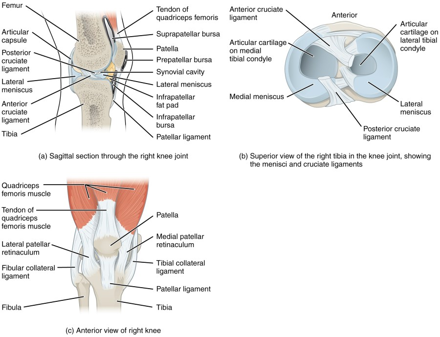 labeled diagram of Knee Joint