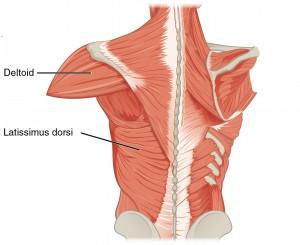 Abbildung der Muskeln, die den Oberarmknochen bewegen