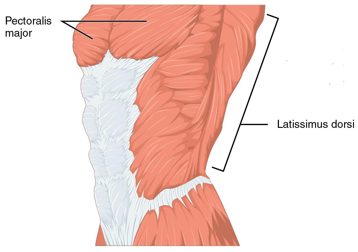 Muskulatur der Schulter und des Oberarms