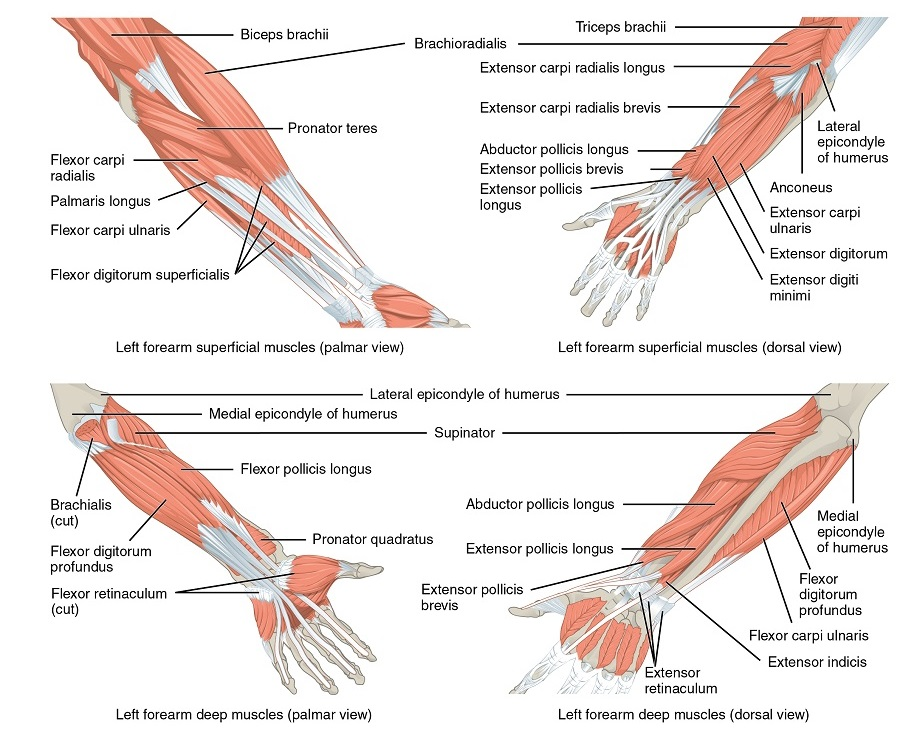 Muskulatur des Daumens und der Finger