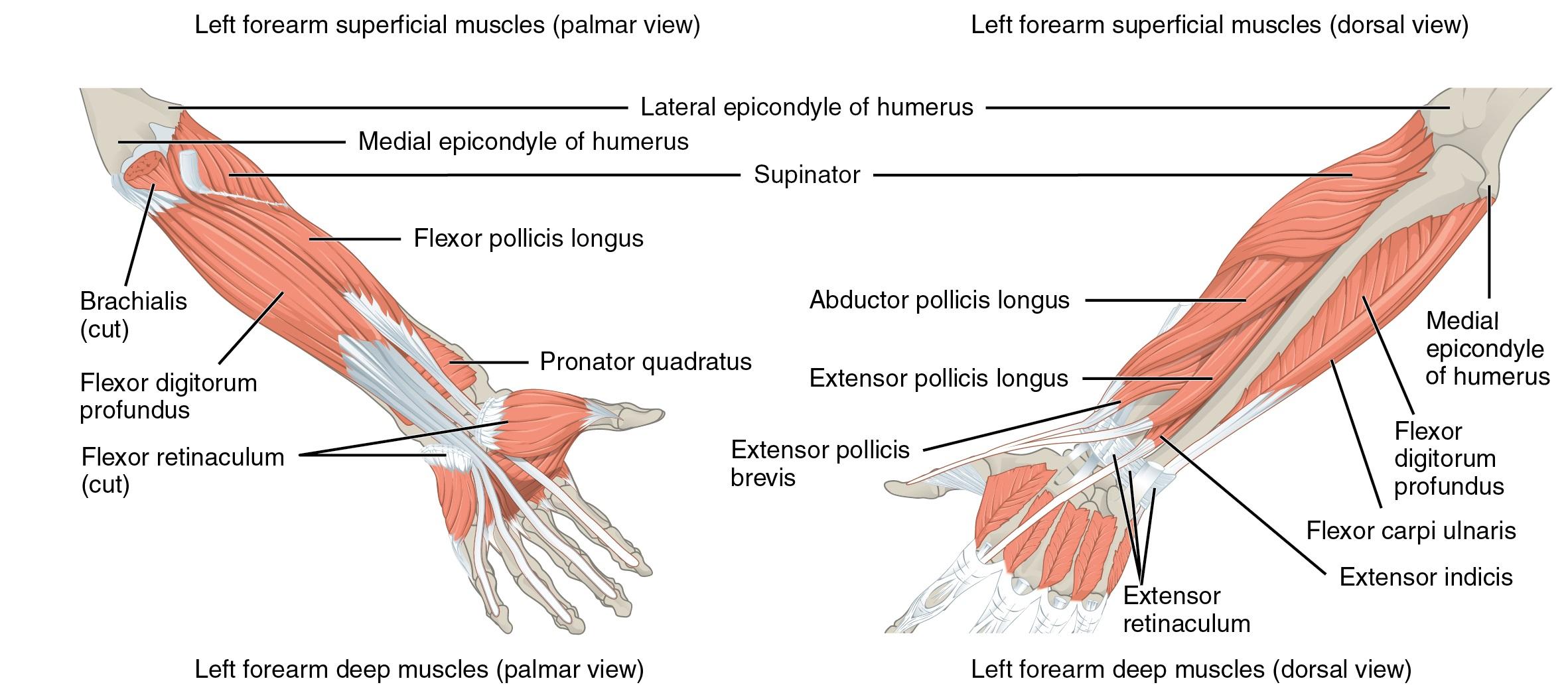 Muskeln, die den Unterarm bewegen