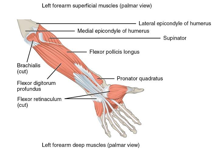 Muskeln, die den Unterarm bewegen4