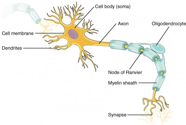 Teile des Neurons