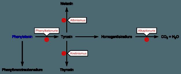 Phenylketonurie Schema