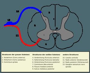 Querschnitt des Rückenmarks