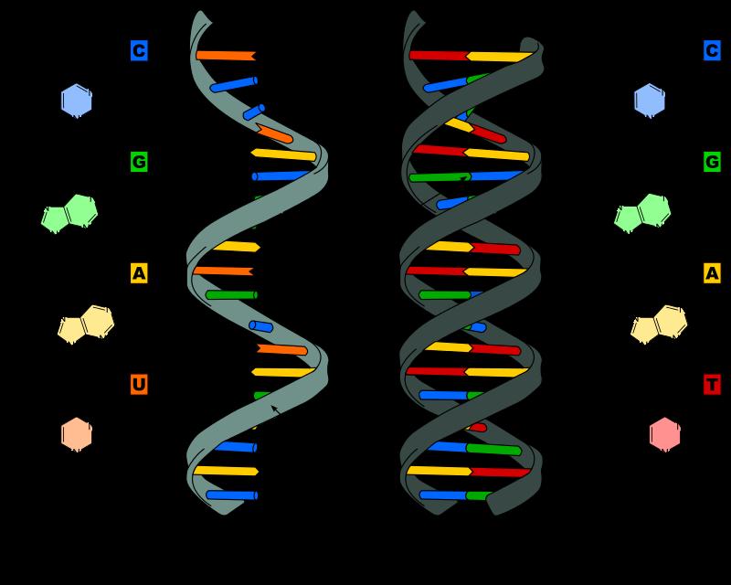 RNA und DNA Vergleich