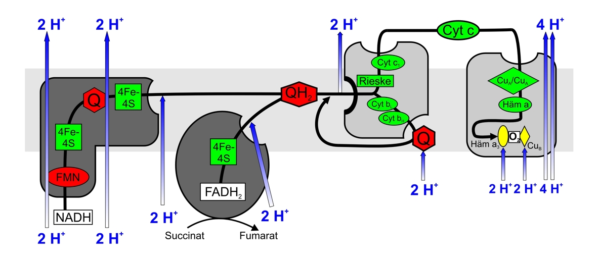 Schematische Darstellung Atmungskette
