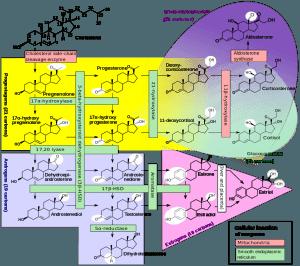 Steroidogenese
