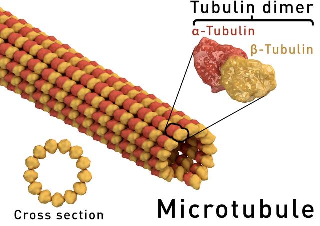 Struktur Microtubule