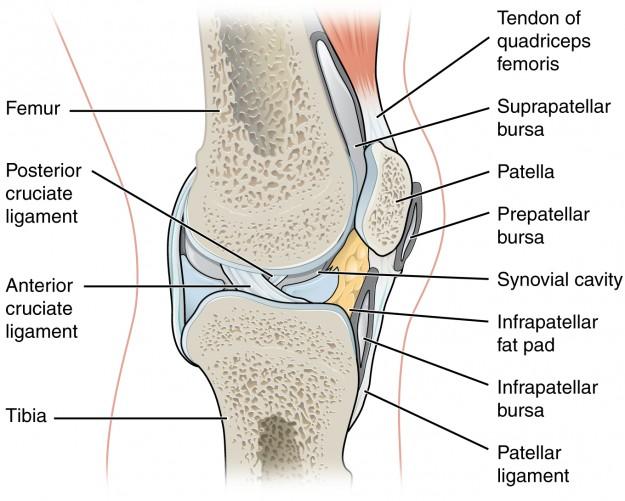 Das Kniegelenk - Anatomie der unteren Extremität