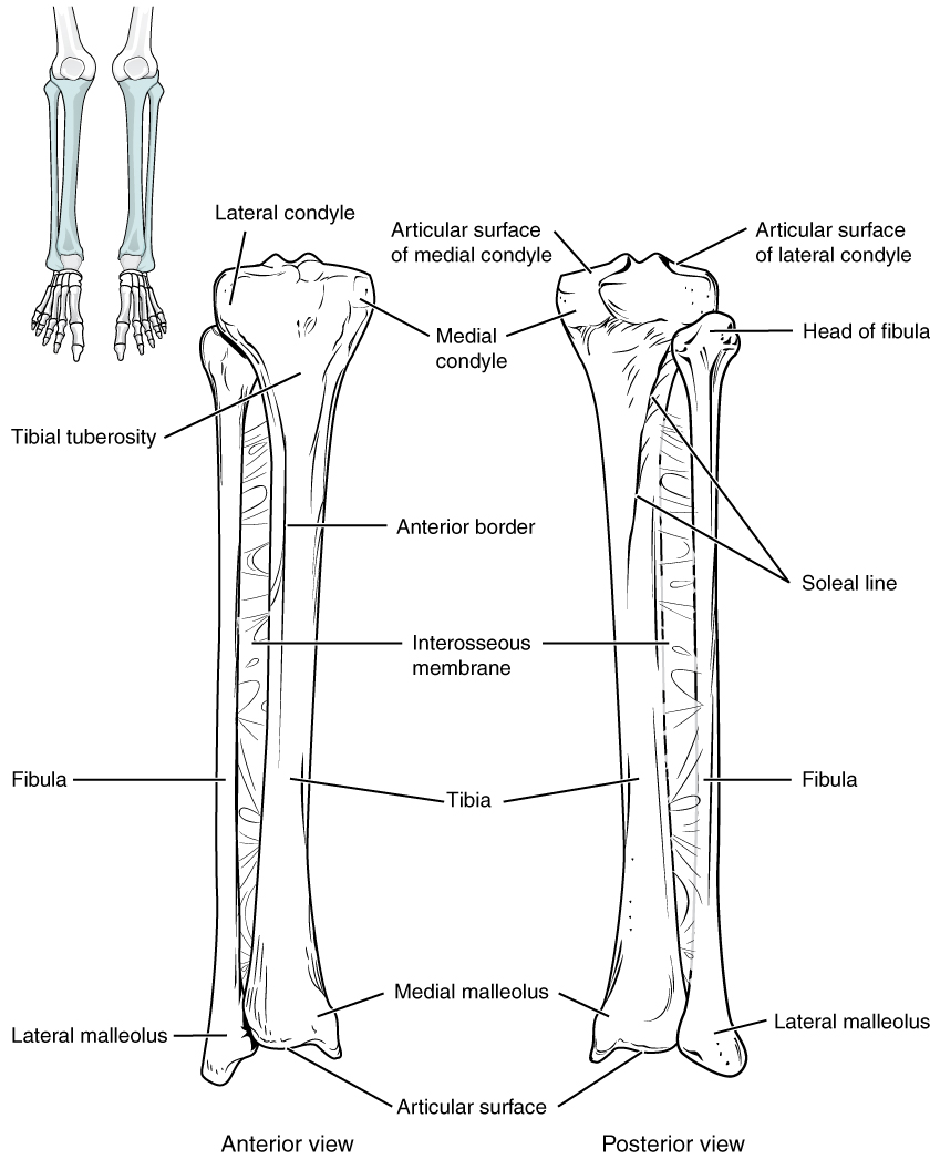 labeled diagram of Tibia and fibula