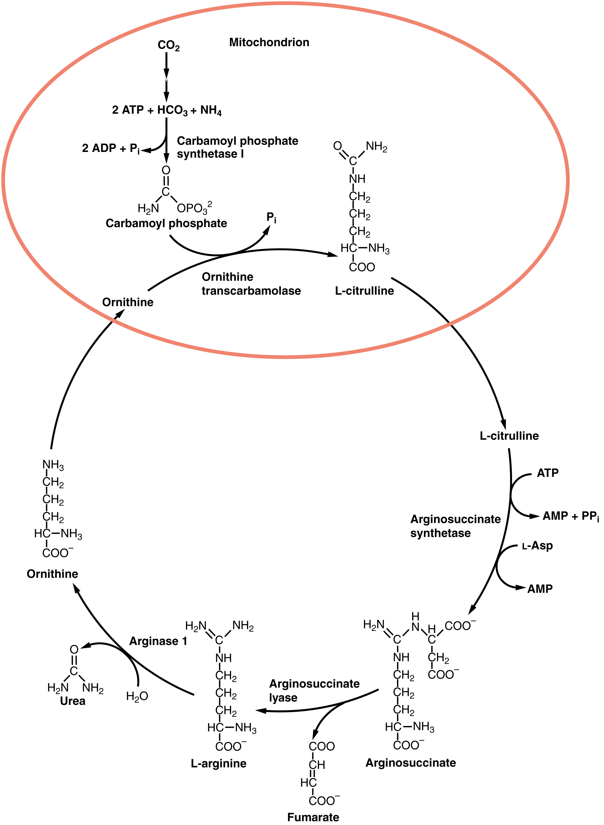 Der Harnstoffzyklus Ein Biochemischer Kreislauf
