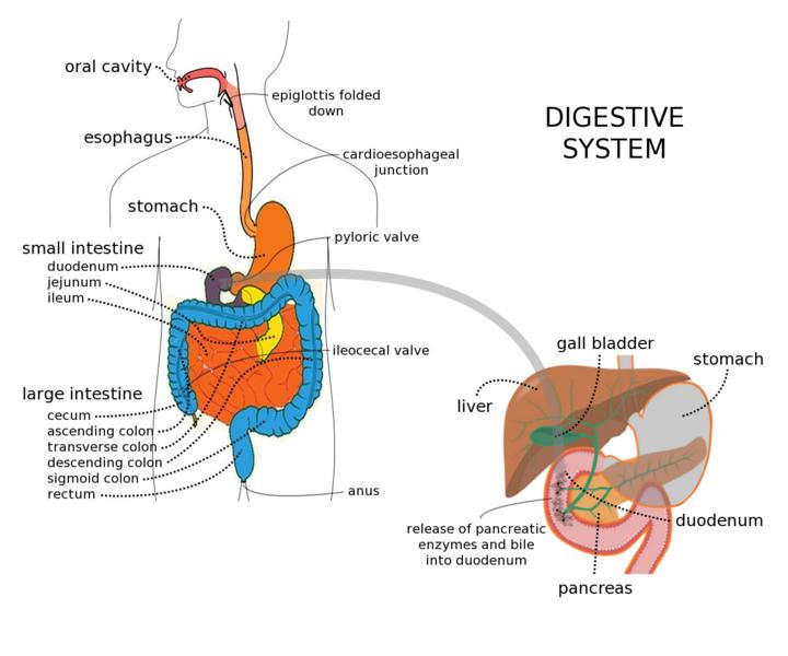 Verdauungssystem mit Leber