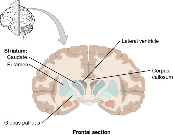 Telencephalon – Medizinisches Fachwissen | Lecturio Med