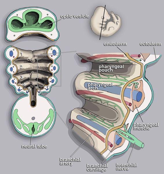 Aufbau der Schlundbögen/Kiemenbögen