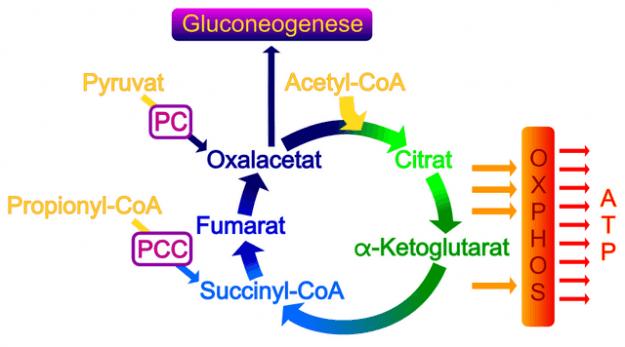 Anaplerotische Reaktionen wie die pyruvatcarboxylase-reaktion
