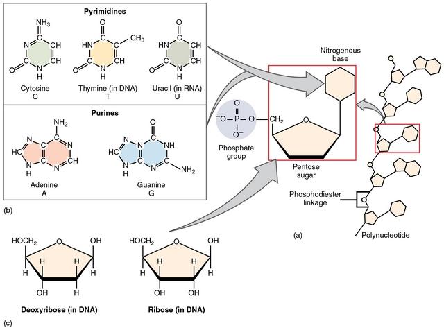diese abbildung zeigt den aufbau von nukleotiden