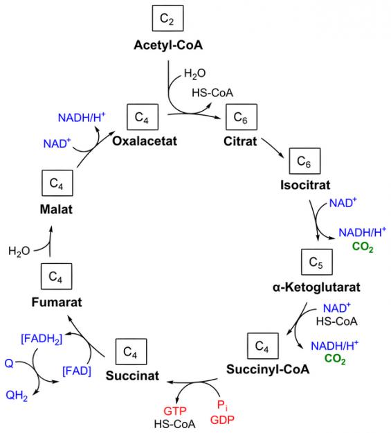 Citratzyklus: Abbildung der einzelnen Schritte