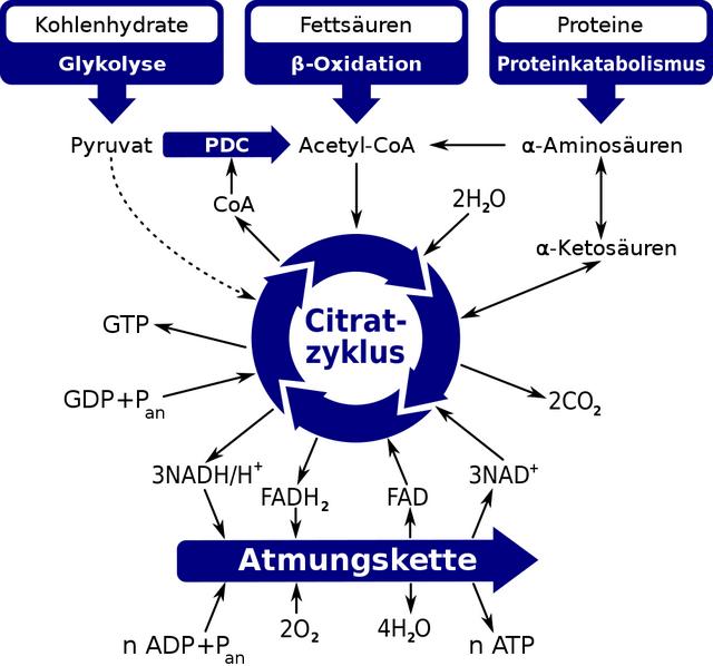 diese abbildung zeigt die rolle des citratzyklus im intermediaerstoffwechsel