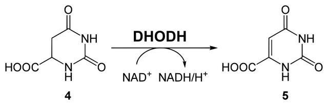 diese abbildung zeigt die synthese von orotat