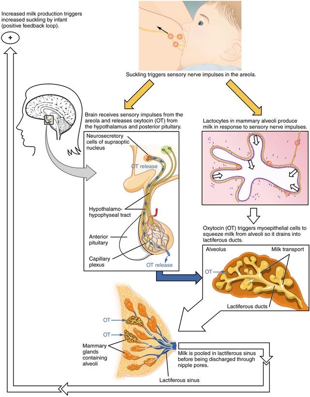 diese darstellung zeigt den ablauf des milchflussreflexes beim stillen