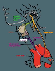 Laryngeal Nerv