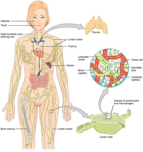 Die Lymphorgane des Menschen