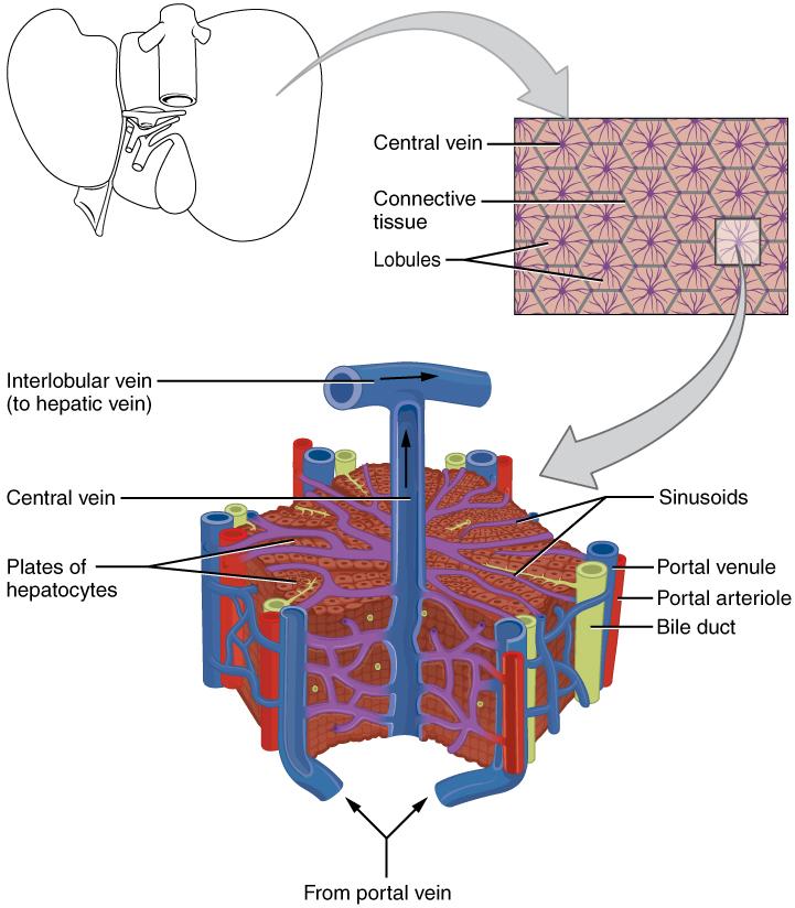 Biotransformation in der Leber: Fachartikel zur Metabolisierung