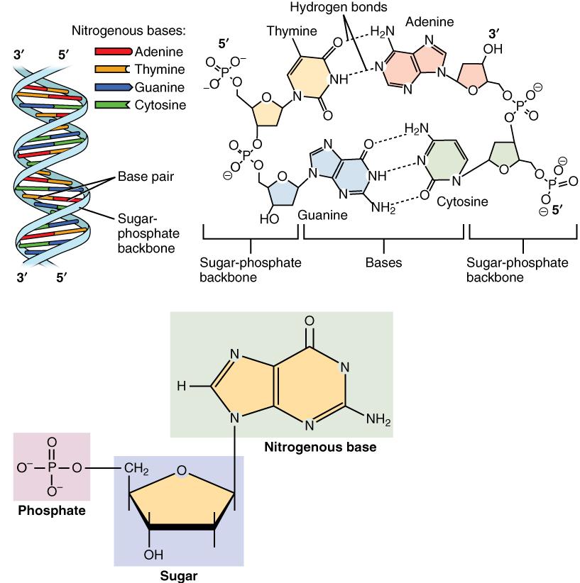 molekulare Struktur der DNA
