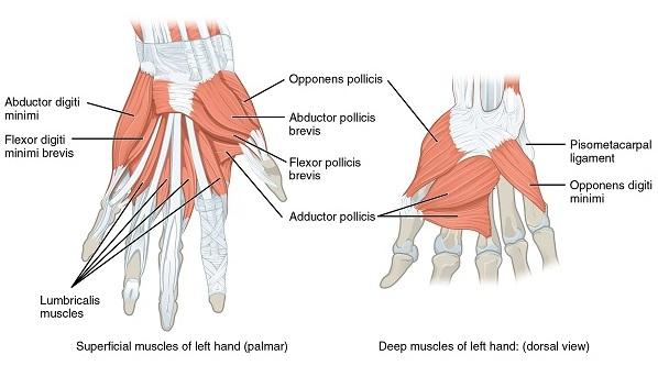 muskeln der Hand oberhalb